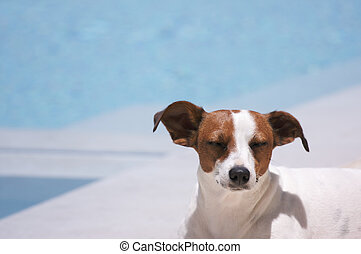 Poolside Meditation - JRT soaks up the sun poolside