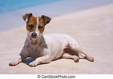 Ah, Summer! - JRT soaks up the sun poolside.