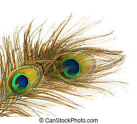 Peacock Feathers over white