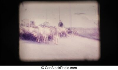 Vintage 8mm. Herd of sheep with shepherd and dogs