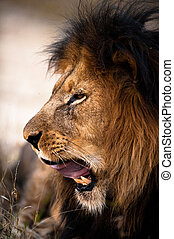 Yawning lion near Kruger National Park