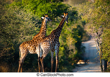Giraffes - Two giraffes Giraffa camelopardalis walking,...