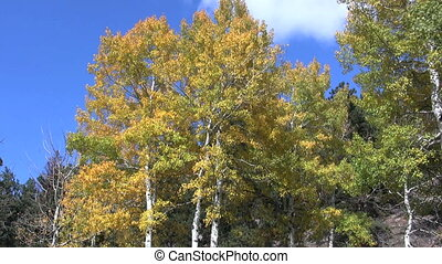Autumn Aspens - Aspens in autumn gold against a blue sky
