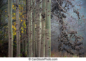 Aspen trees in autumn - Close up of trunks of aspen trees on...