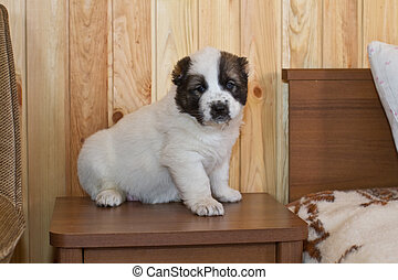 puppy of the Central Asian sheep-dog - lovely nice puppy of...