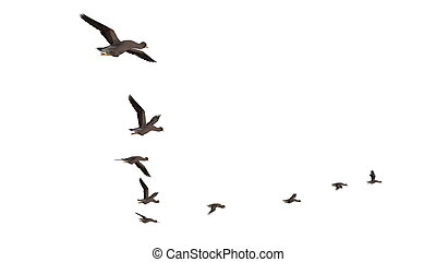 migratory bird - image of migratory bird
