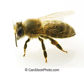 abelha, closeup, isolado, ligado, branca