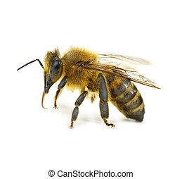 único, abelha, isolado