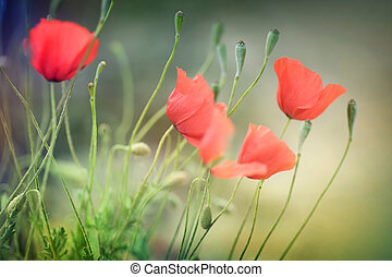 Poppies Shallow DOF