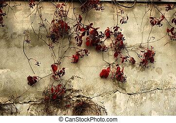 vieux, ivy-clad, mur