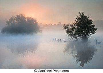 Bevy herd of swans on misty foggy Autumn Fall lake -...