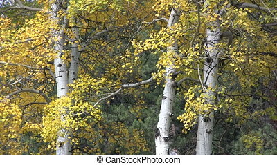 Aspens in Autumn - close up of aspens in fall foliage