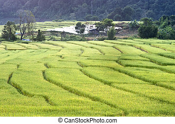 Terrace of rice field in Mae Klang Luang Village, Thailand