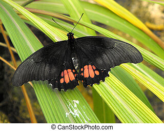 Ruby Spotted Swallowtail Papilio anchisiades