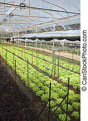 Agriculture of Iceberg Lettuce in organic farm in Thailand -...