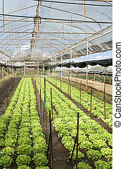 Agriculture of Iceberg Lettuce in organic farm in Thailand