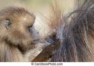 Baby gelada baboon - A baby baboon taking care of his mother...
