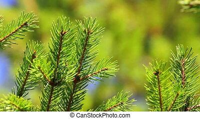 fir twigs close-up