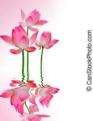 hermoso, loto, con, reflexión
