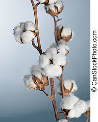 Cotton Plant Closeup