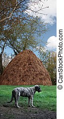 wolfhound, - a proud irish wolfhound against an irish farm...