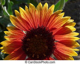Fire Wheel - Indian Blanket Flower in the Southwestern...