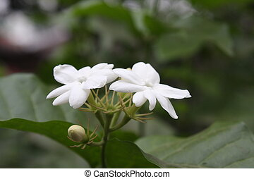 flor, jazmín
