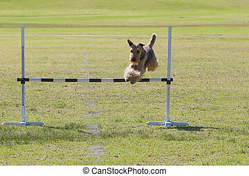 Dog Trials - Dog leaping over bar