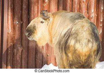 Takin, the Himalayan ox, in Moscow zoo