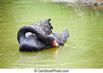 Black swan in the water