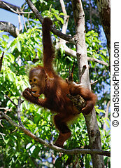 orangatang; - baby orangatang; in the wild