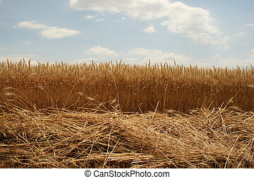 Field of ripened wheat, the beginning of harvesting