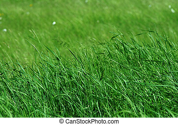 Tall green grass in pasture blowing in wind, shallow depth...