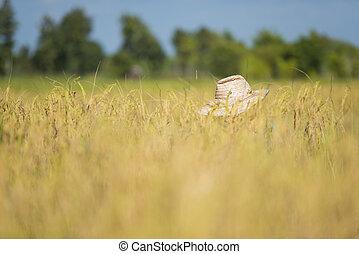 harvesting rice - rice farmer harvesting in the fields in...