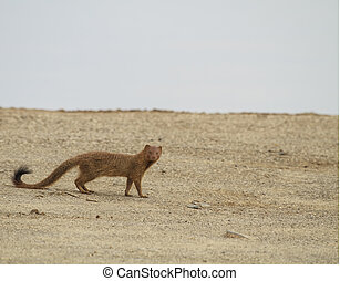 Mongoose - A mongoose in its natural environment