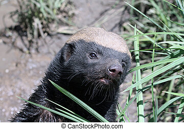 Honey Badger - Taken South Africa at a private game reserve