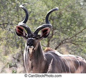 Kudu - A kudu bull with lovely spiral horns in it's natural...