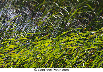 Water grass - Green water grass in a lake.