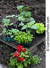 Home garden - Fresh new plants ready to be planted at the...