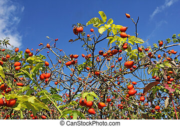 Eglantine - Ripe hip roses on branch with leaves
