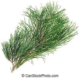 sempreverde, pino, ramoscello, isolato, bianco, closeup,...