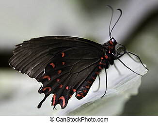 Pink Rose Butterfly - Pink Rose Swallowtail Butterfly Has a...