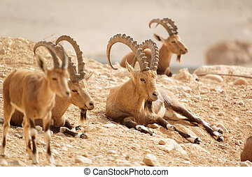 wild goats in nature summer day