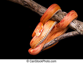 Corn snake wrapped around an old branch