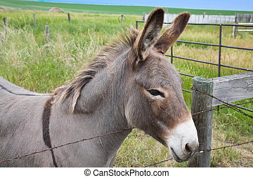 Dolly the donkey looking over the fence. Female, known as a...