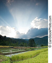 Sunset over golden rice field in Mae Klang Luang Village,...