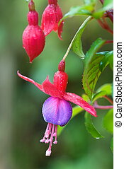 Red Fuchsia or Lady's Eardrops flower - Beautiful red...