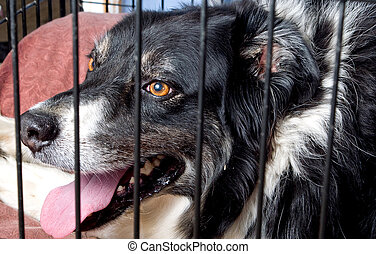 Caged Border Collie - A border collie at a dog pound or pet...