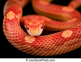 Corn snake - Close up of corn snake