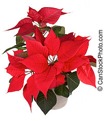 Christmas flower poinsettia - Red christmas flower...